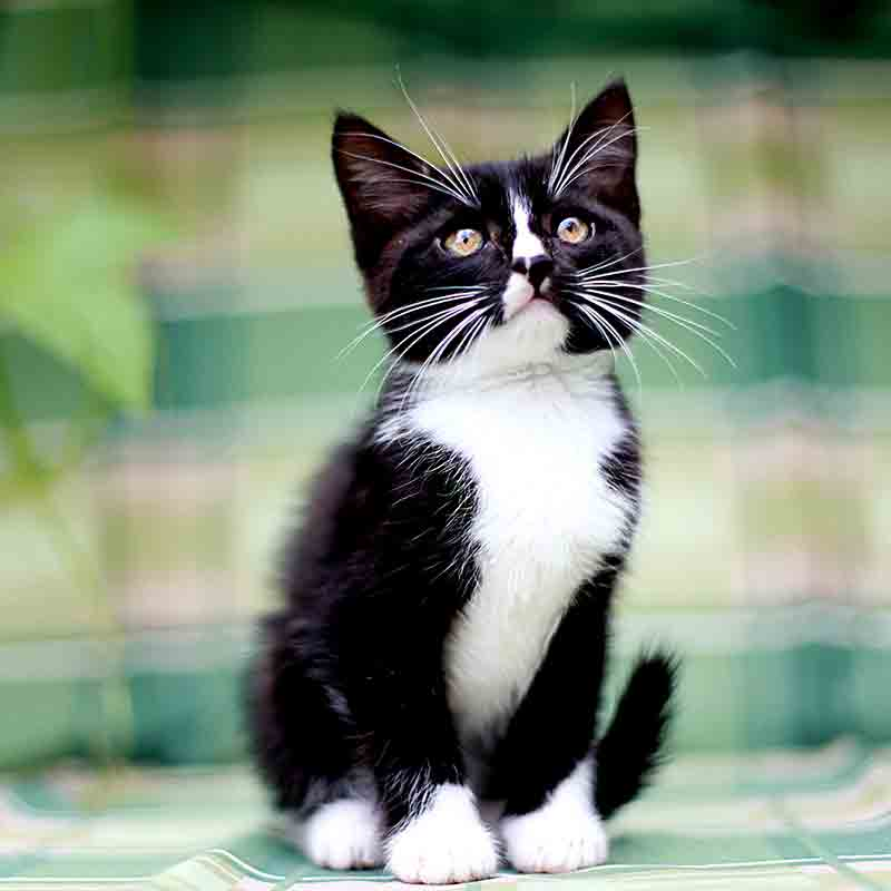 Black and White Kitty